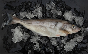 Picture of Haddock, fresh,  whole h/g, size 0,8 - 1 kg
